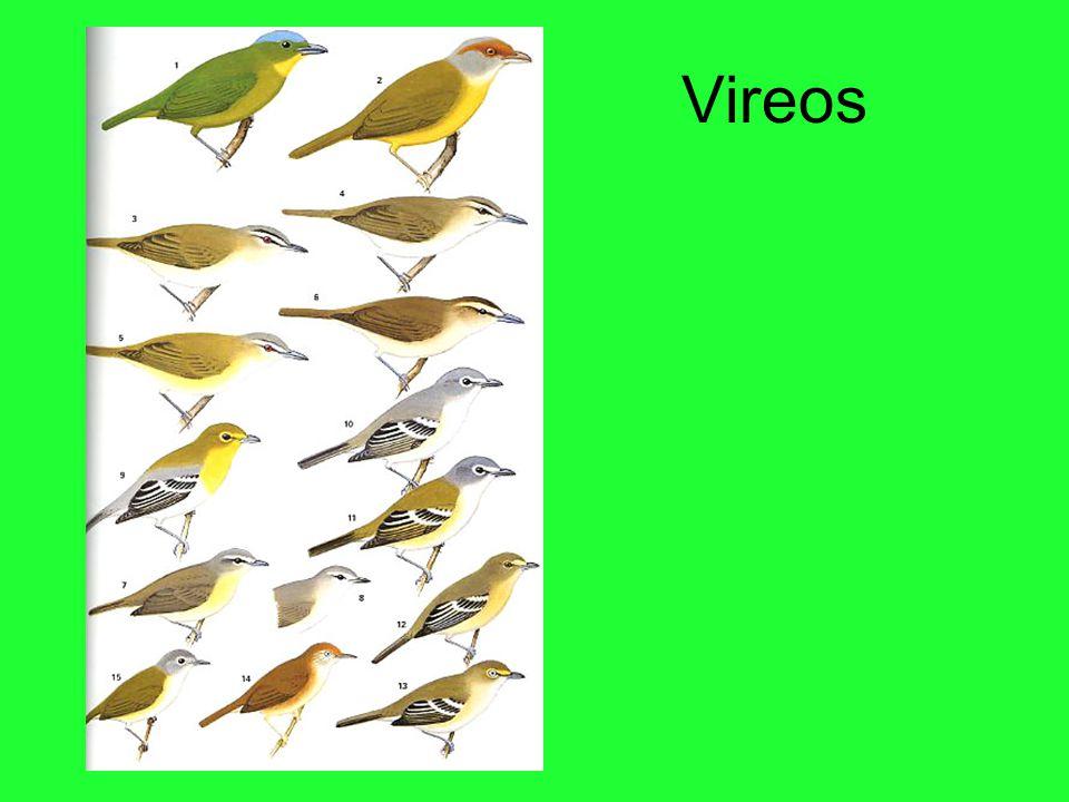 Vireos