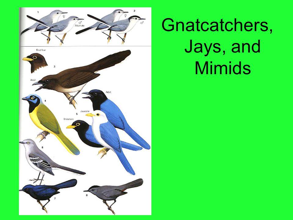 Gnatcatchers, Jays, and Mimids