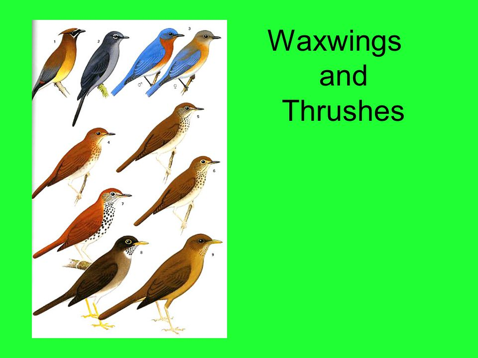 Waxwings and Thrushes