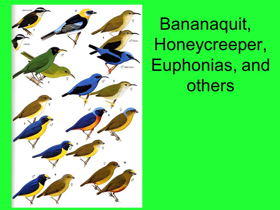 Bananaquit, Honeycreeper, Euphonias, and others
