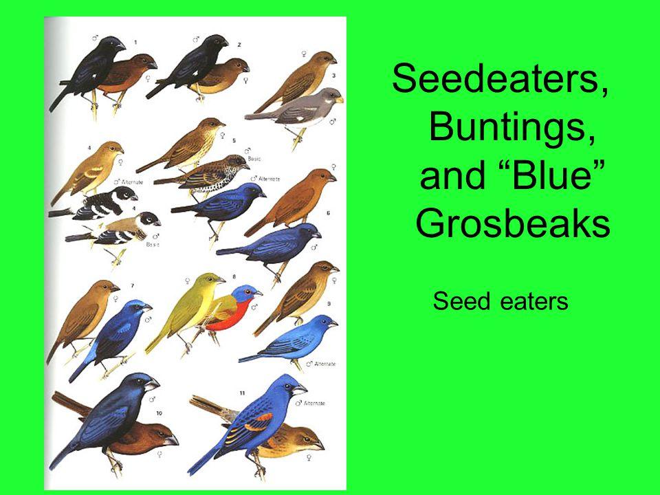 """Seedeaters, Buntings, and """"Blue"""" Grosbeaks Seed eaters"""