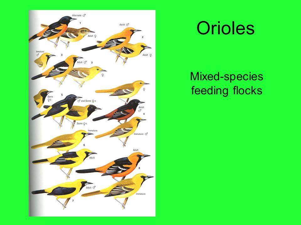 Orioles Mixed-species feeding flocks