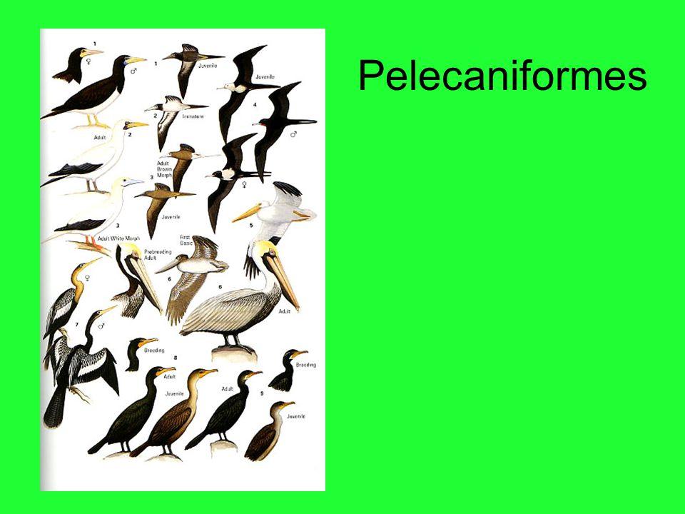 Pelecaniformes
