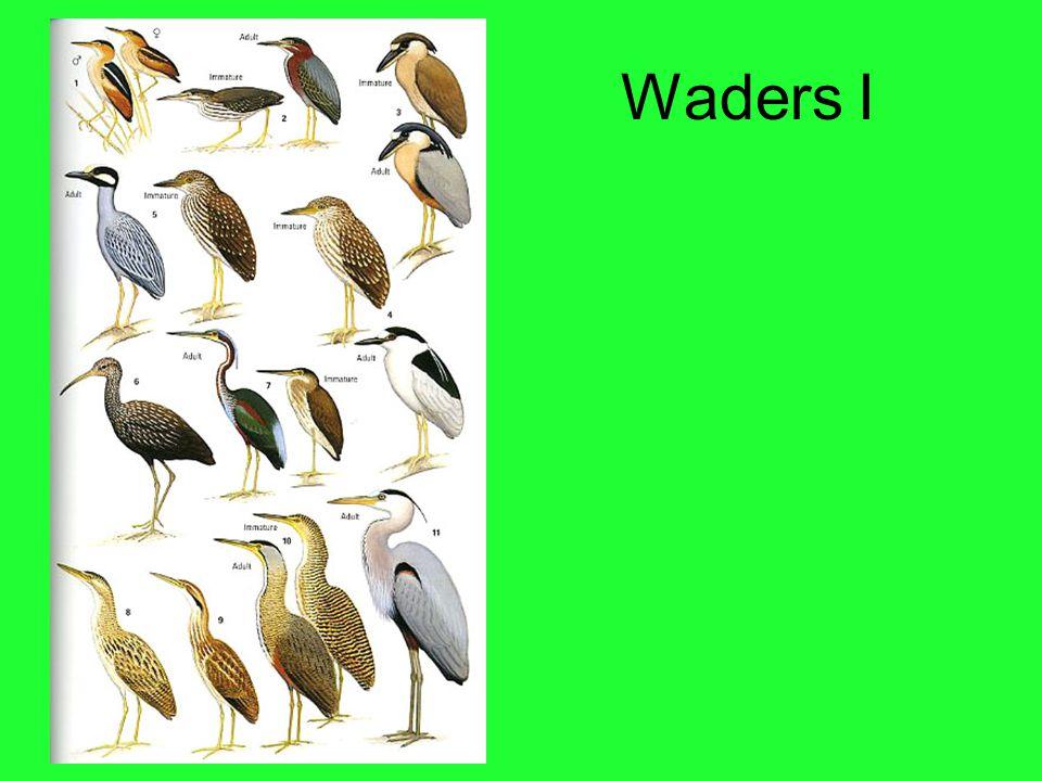 Waders I