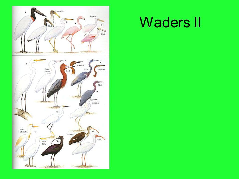 Waders II