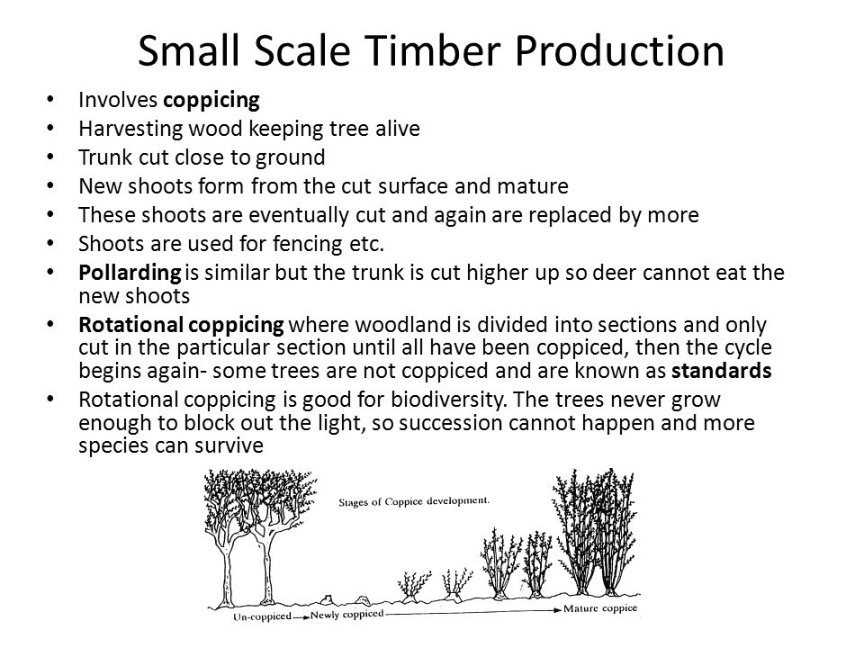 Small Scale Timber Production Involves coppicing Harvesting wood keeping tree alive Trunk cut close to ground New shoots form from the cut surface and