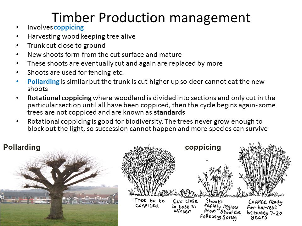 Timber Production management Involves coppicing Harvesting wood keeping tree alive Trunk cut close to ground New shoots form from the cut surface and