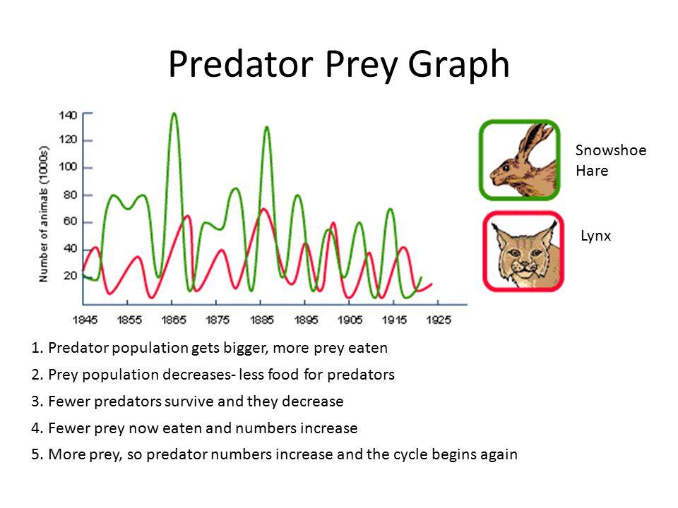 Predator Prey Graph 1. Predator population gets bigger, more prey eaten 2. Prey population decreases- less food for predators 3. Fewer predators survi