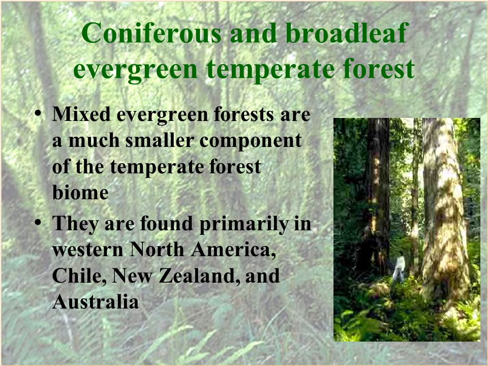 Coniferous and broadleaf evergreen temperate forest Mixed evergreen forests are a much smaller component of the temperate forest biome They are found