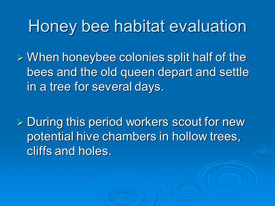 Honey bee habitat evaluation  When honeybee colonies split half of the bees and the old queen depart and settle in a tree for several days.