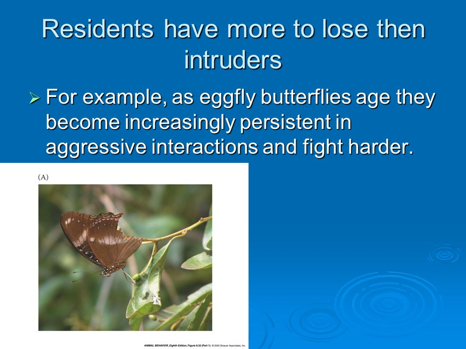 Residents have more to lose then intruders  For example, as eggfly butterflies age they become increasingly persistent in aggressive interactions and fight harder.