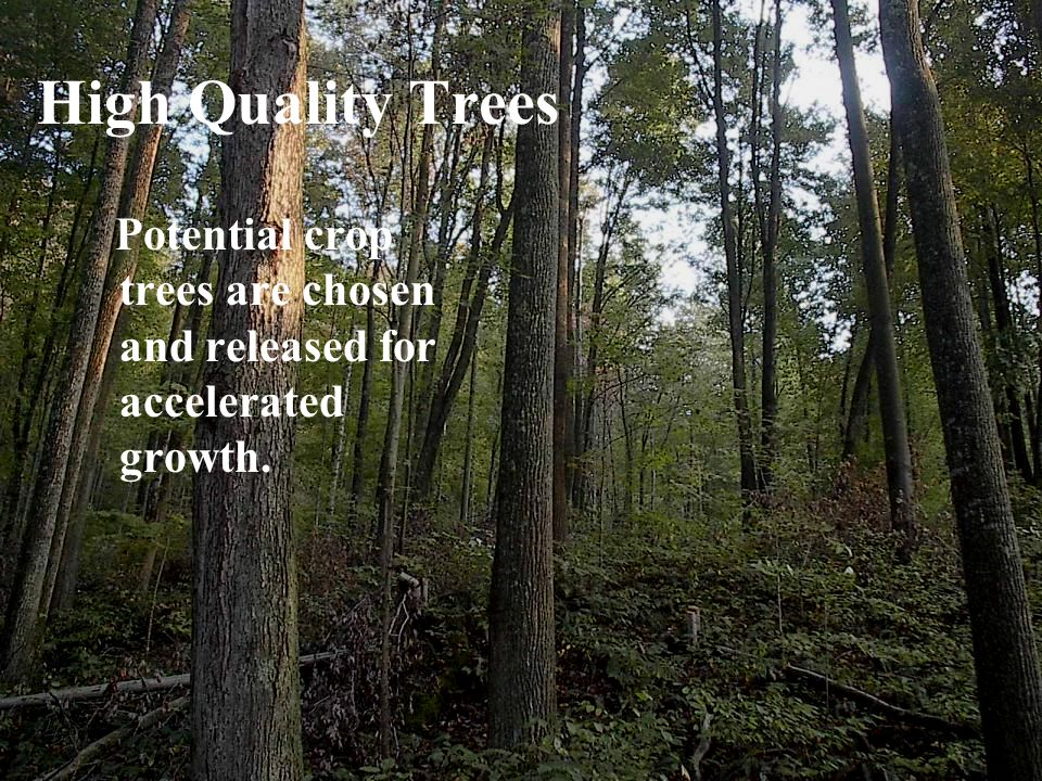 High Quality Trees Potential crop trees are chosen and released for accelerated growth.