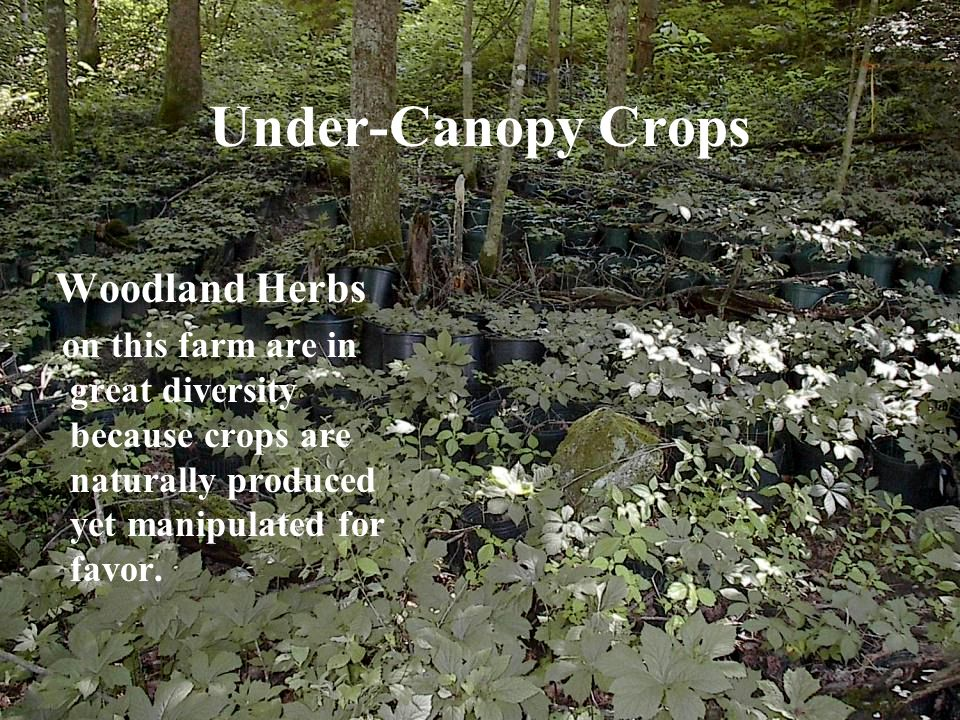 Under-Canopy Crops Woodland Herbs on this farm are in great diversity because crops are naturally produced yet manipulated for favor.