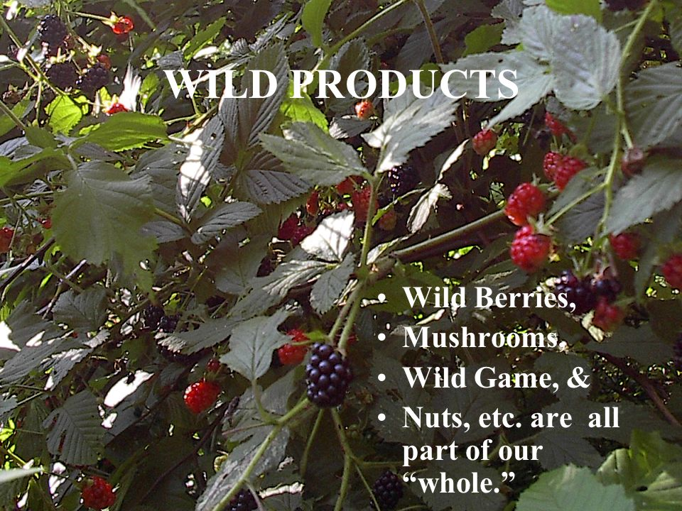 WILD PRODUCTS Wild Berries, Mushrooms, Wild Game, & Nuts, etc. are all part of our whole.