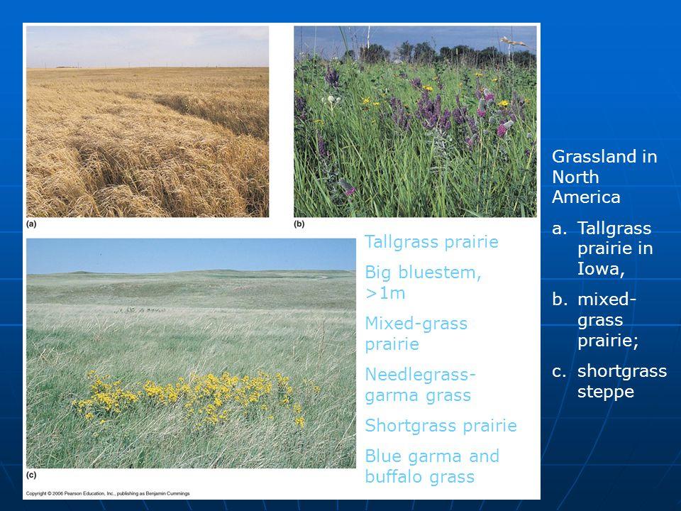 Grassland in North America a.Tallgrass prairie in Iowa, b.mixed- grass prairie; c.shortgrass steppe Tallgrass prairie Big bluestem, >1m Mixed-grass pr