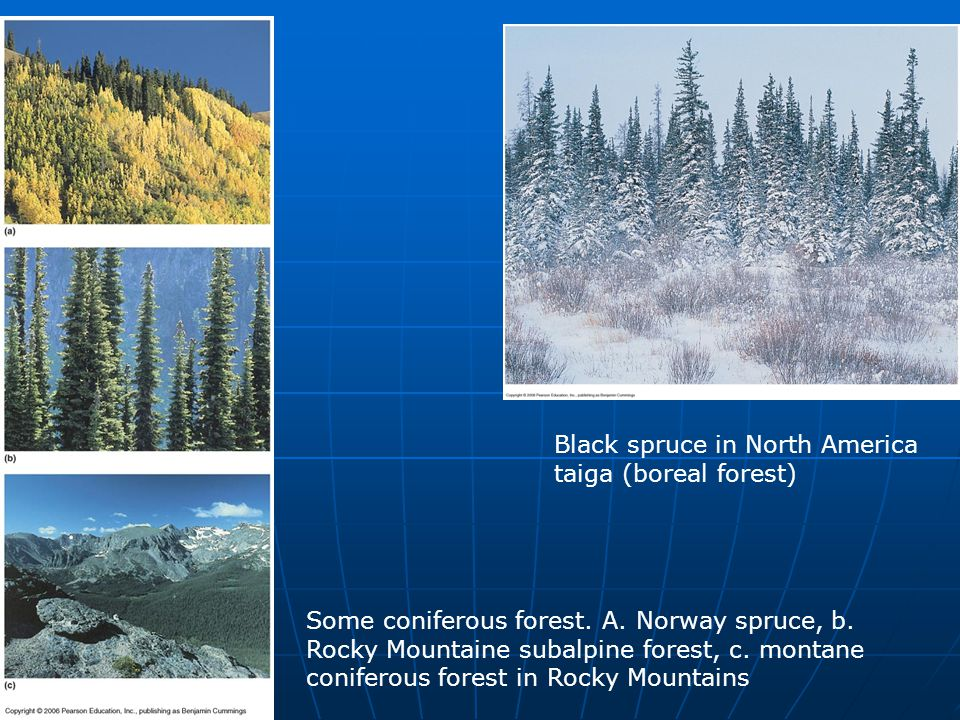 Black spruce in North America taiga (boreal forest) Some coniferous forest. A. Norway spruce, b. Rocky Mountaine subalpine forest, c. montane conifero