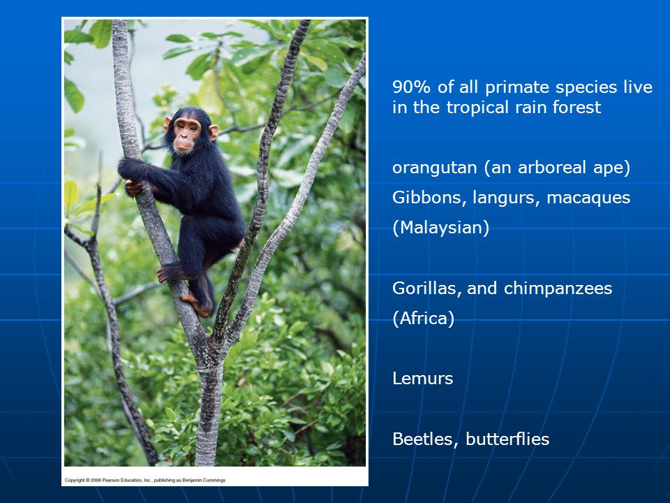 90% of all primate species live in the tropical rain forest orangutan (an arboreal ape) Gibbons, langurs, macaques (Malaysian) Gorillas, and chimpanze
