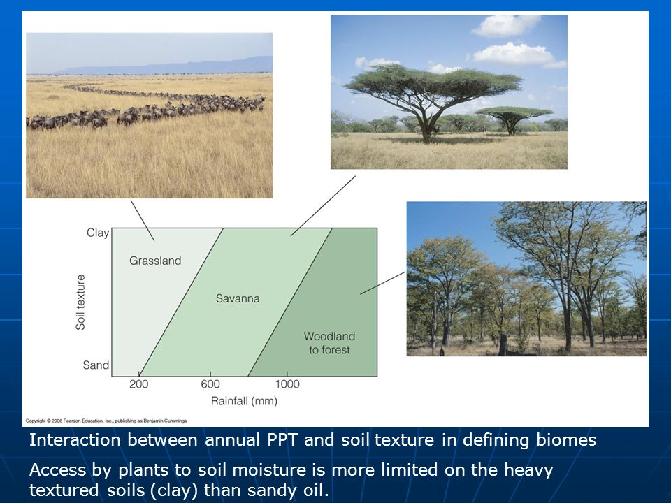Interaction between annual PPT and soil texture in defining biomes Access by plants to soil moisture is more limited on the heavy textured soils (clay