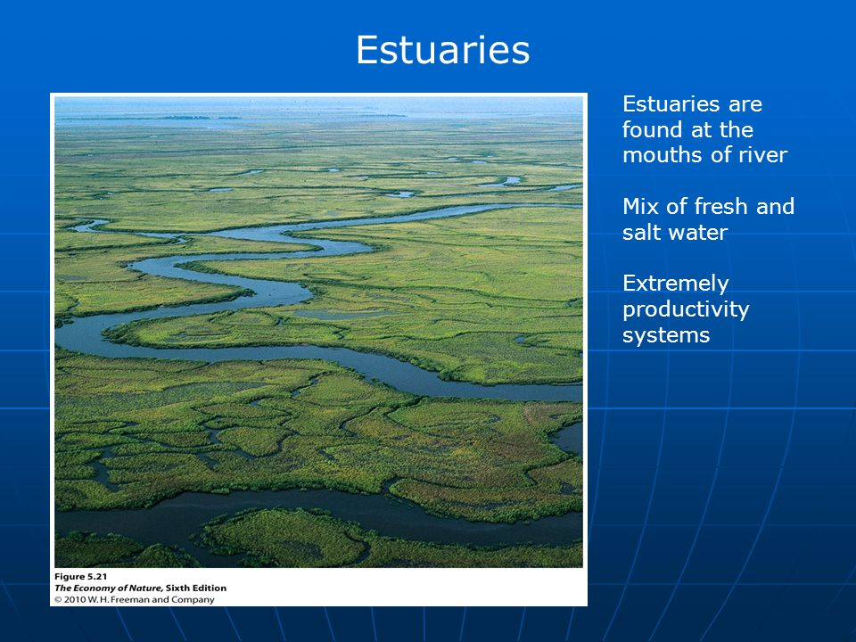 Estuaries are found at the mouths of river Mix of fresh and salt water Extremely productivity systems Estuaries