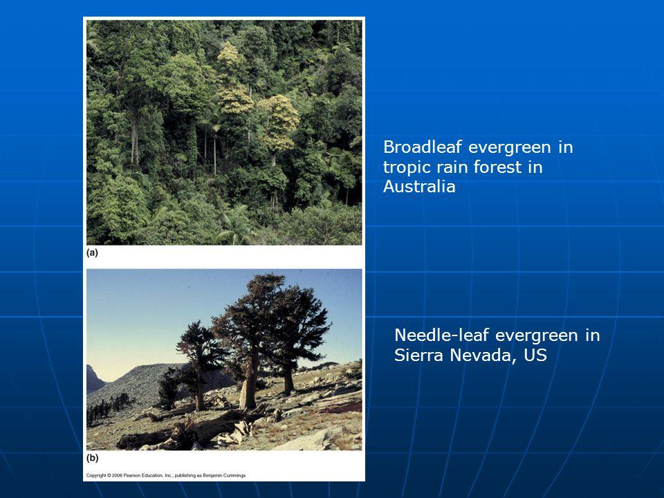 Broadleaf evergreen in tropic rain forest in Australia Needle-leaf evergreen in Sierra Nevada, US