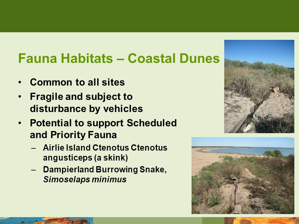 Fauna Habitats – Coastal Dunes Common to all sites Fragile and subject to disturbance by vehicles Potential to support Scheduled and Priority Fauna –Airlie Island Ctenotus Ctenotus angusticeps (a skink) –Dampierland Burrowing Snake, Simoselaps minimus