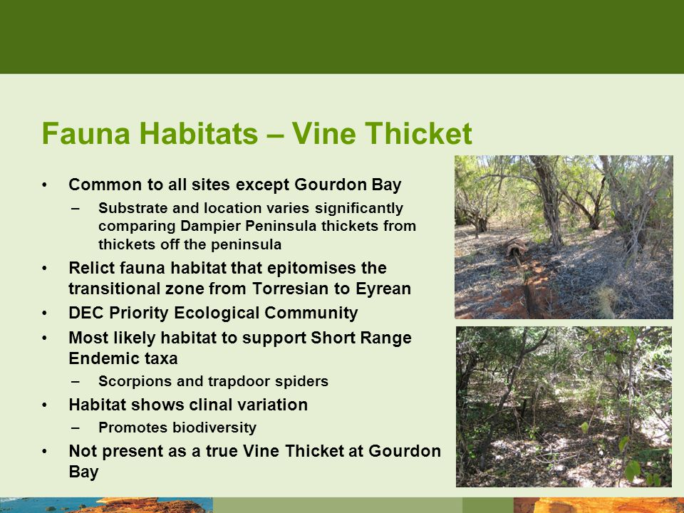 Fauna Habitats – Vine Thicket Common to all sites except Gourdon Bay –Substrate and location varies significantly comparing Dampier Peninsula thickets from thickets off the peninsula Relict fauna habitat that epitomises the transitional zone from Torresian to Eyrean DEC Priority Ecological Community Most likely habitat to support Short Range Endemic taxa –Scorpions and trapdoor spiders Habitat shows clinal variation –Promotes biodiversity Not present as a true Vine Thicket at Gourdon Bay