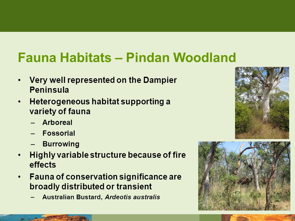 Fauna Habitats – Pindan Woodland Very well represented on the Dampier Peninsula Heterogeneous habitat supporting a variety of fauna –Arboreal –Fossorial –Burrowing Highly variable structure because of fire effects Fauna of conservation significance are broadly distributed or transient –Australian Bustard, Ardeotis australis