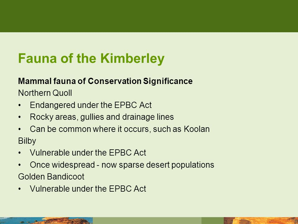 Fauna of the Kimberley Mammal fauna of Conservation Significance Northern Quoll Endangered under the EPBC Act Rocky areas, gullies and drainage lines Can be common where it occurs, such as Koolan Bilby Vulnerable under the EPBC Act Once widespread - now sparse desert populations Golden Bandicoot Vulnerable under the EPBC Act