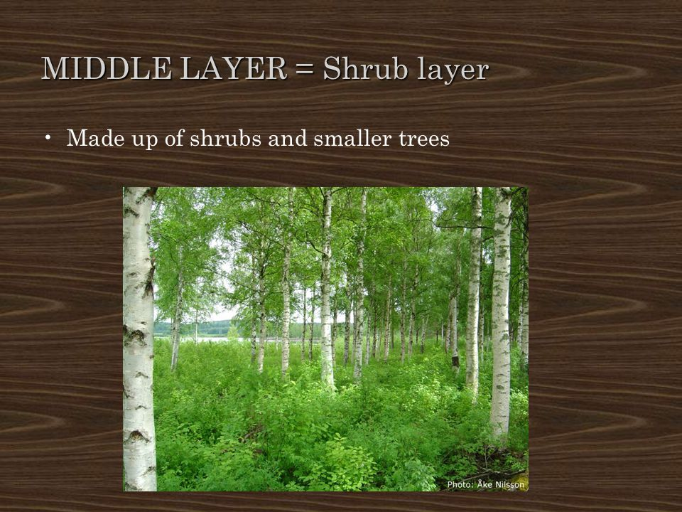 MIDDLE LAYER = Shrub layer Made up of shrubs and smaller trees