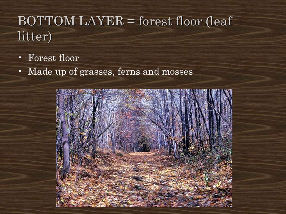 BOTTOM LAYER = forest floor (leaf litter) Forest floor Made up of grasses, ferns and mosses