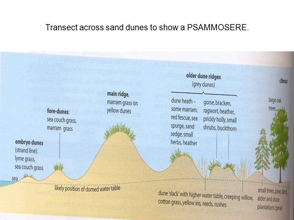 Transect across sand dunes to show a PSAMMOSERE.