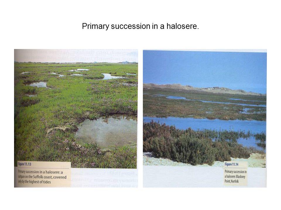 Primary succession in a halosere.