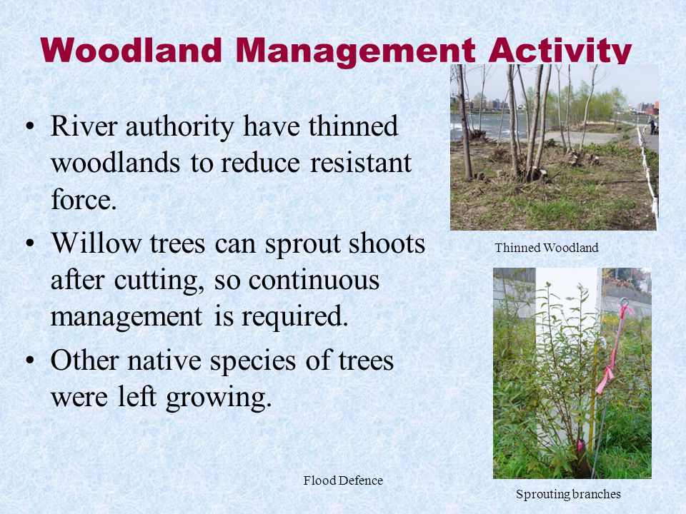 Flood Defence Woodland Management Activity River authority have thinned woodlands to reduce resistant force. Willow trees can sprout shoots after cutt