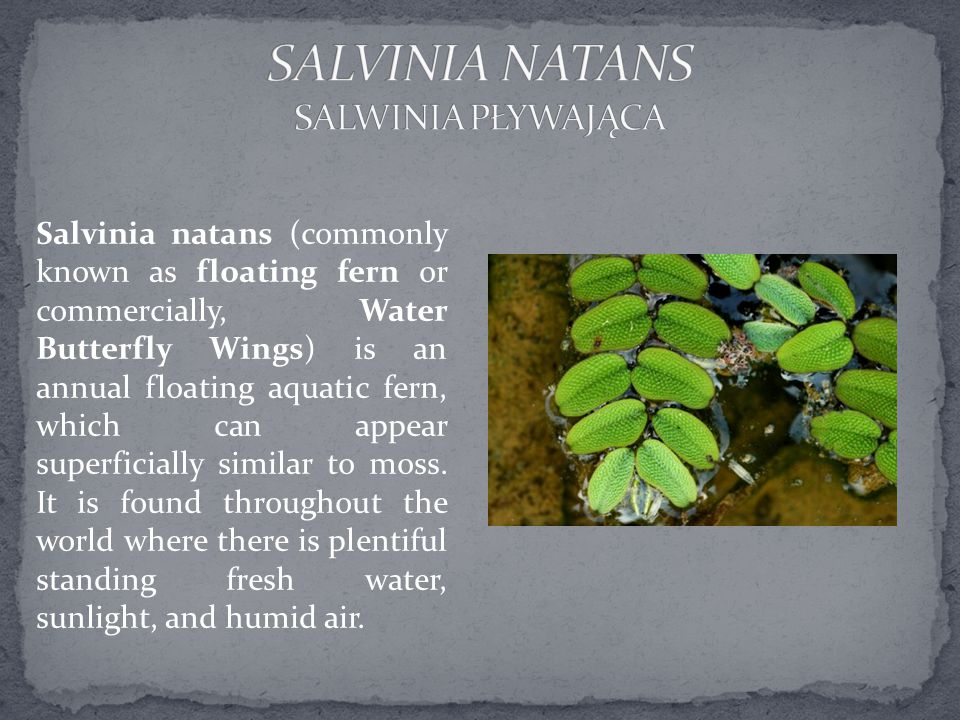 Salvinia natans (commonly known as floating fern or commercially, Water Butterfly Wings) is an annual floating aquatic fern, which can appear superficially similar to moss.