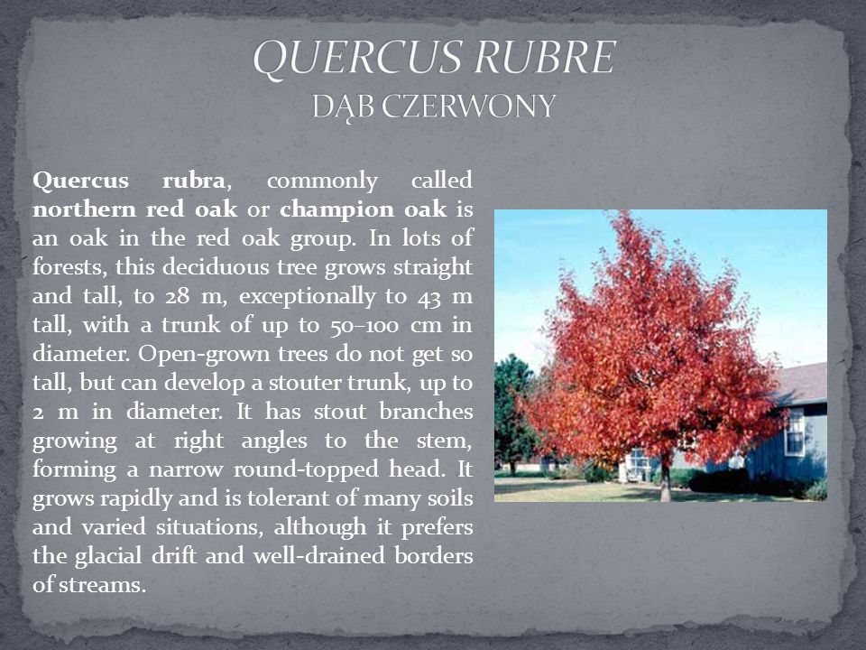Quercus rubra, commonly called northern red oak or champion oak is an oak in the red oak group.