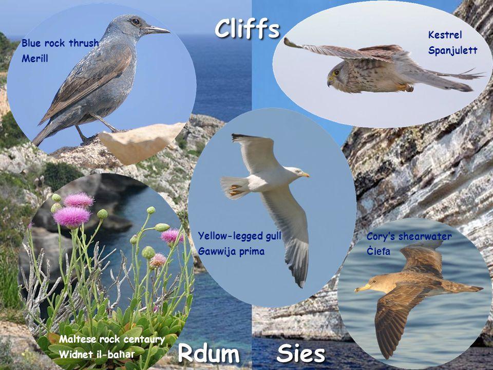 Sies Cliffs Rdum Blue rock thrush Merill Kestrel Spanjulett Yellow-legged gull Gawwija prima Maltese rock centaury Widnet il-ba ħar Cory's shearwater Ċiefa