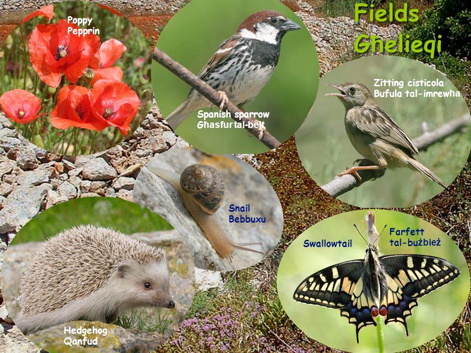 Fields G ħ elieqi Fields G ħ elieqi Spanish sparrow G ħasfur tal-bejt Poppy Pepprin Snail Bebbuxu Zitting cisticola Bufula tal-imrew ħa Hedgehog Qanfud Swallowtail Farfett tal-bu żbież
