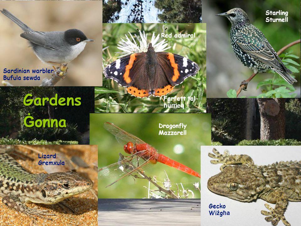 Gardens Ġ onna Gardens Ġ onna Sardinian warbler Bufula sewda Lizard Gremxula Dragonfly Mazzarell Red admiral Farfett tal- ħurrieq Starling Sturnell Gecko Wi ż g ħa