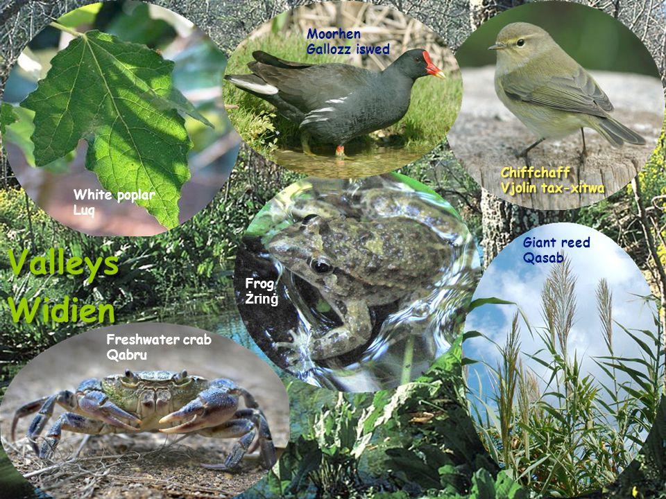 Valleys Widien Valleys Widien White poplar Luq Moorhen Gallozz iswed Frog Żrinġ Chiffchaff Vjolin tax-xitwa Chiffchaff Vjolin tax-xitwa Freshwater crab Qabru Giant reed Qasab