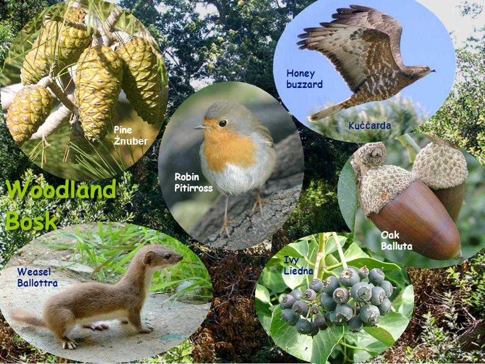 Woodland Bosk Woodland Bosk Pine Żnuber Robin Pitirross Weasel Ballottra Honey buzzard Ku ċċarda Oak Balluta Ivy Liedna