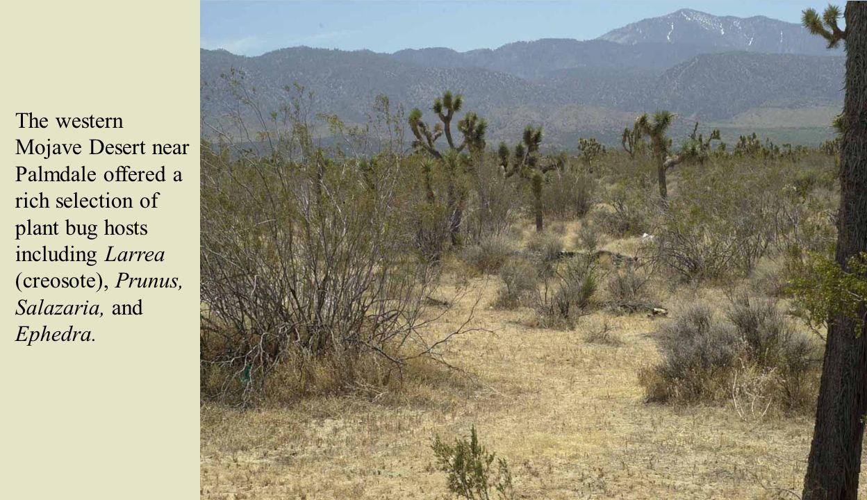 The western Mojave Desert near Palmdale offered a rich selection of plant bug hosts including Larrea (creosote), Prunus, Salazaria, and Ephedra.