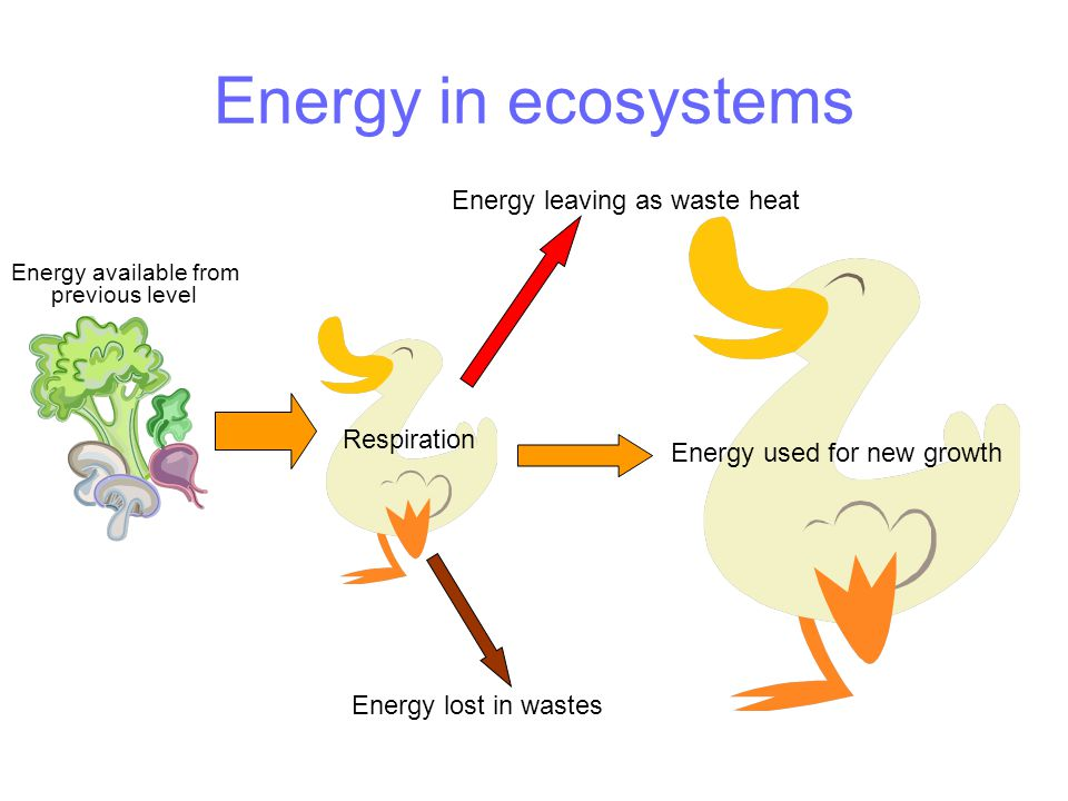 Energy in ecosystems Energy available from previous level Energy leaving as waste heat Energy used for new growth Respiration Energy lost in wastes