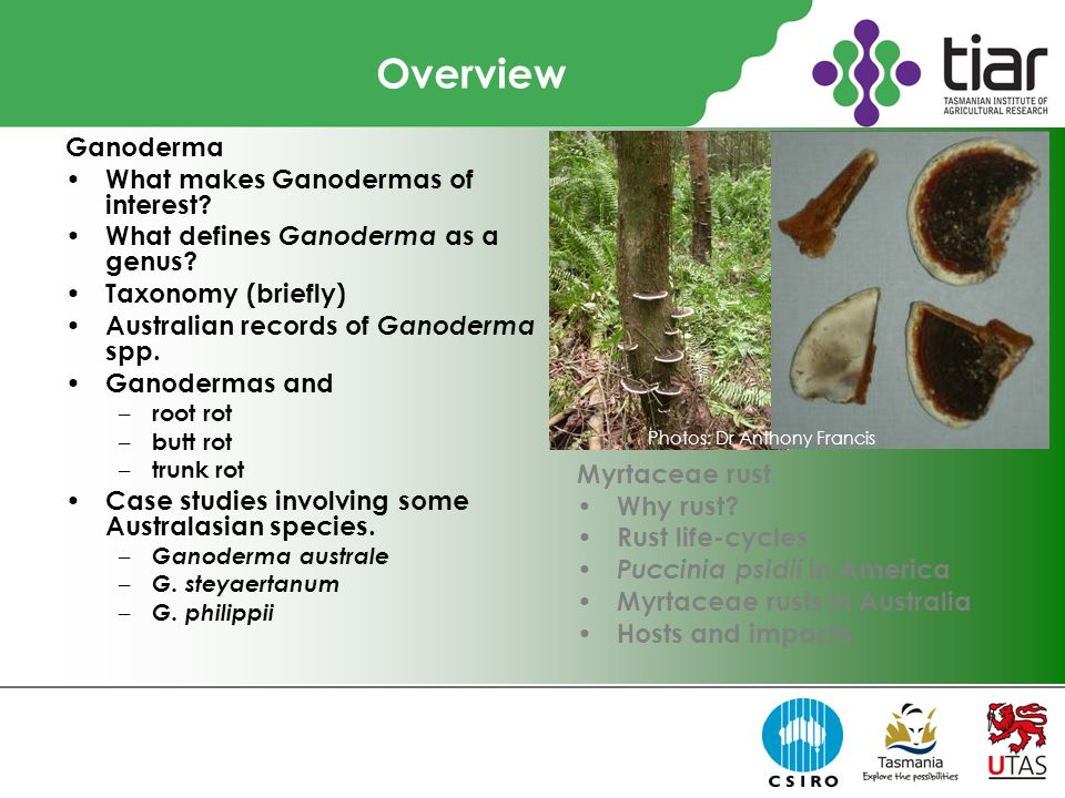 Overview Ganoderma What makes Ganodermas of interest.