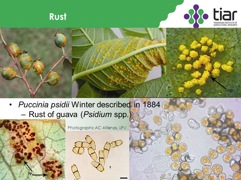 Rust Puccinia psidii Winter described in 1884 –Rust of guava (Psidium spp.) Photographs: AC Alfenas, UFV