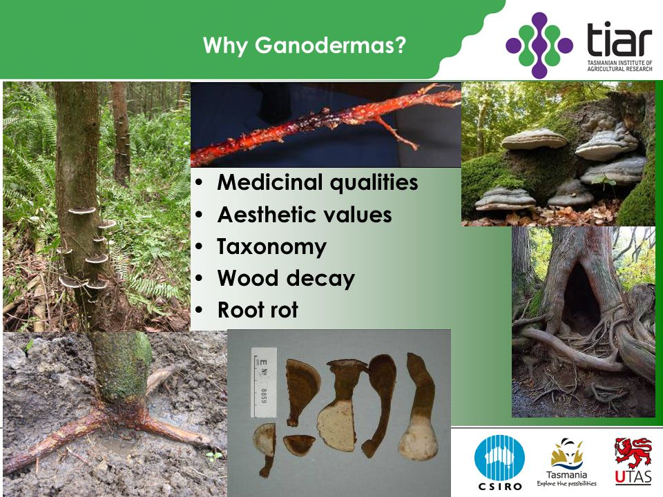 Why Ganodermas? Medicinal qualities Aesthetic values Taxonomy Wood decay Root rot