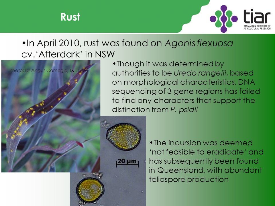 Rust In April 2010, rust was found on Agonis flexuosa cv.'Afterdark' in NSW Photo: Dr Angus Carnegie, I&I, NSW Though it was determined by authorities to be Uredo rangelii, based on morphological characteristics, DNA sequencing of 3 gene regions has failed to find any characters that support the distinction from P.