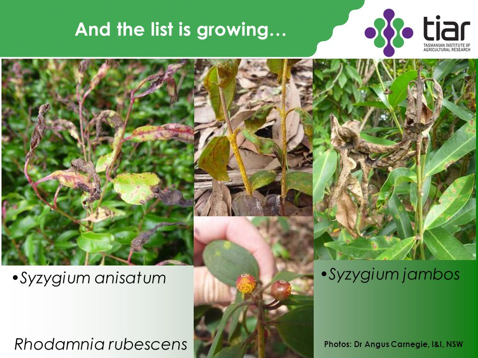 And the list is growing… Photos: Dr Angus Carnegie, I&I, NSW Syzygium anisatum Syzygium jambos Rhodamnia rubescens