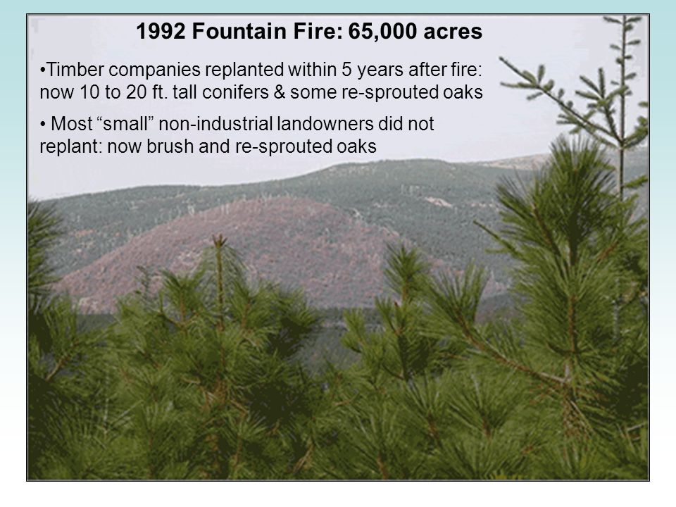 "1992 Fountain Fire: 65,000 acres Timber companies replanted within 5 years after fire: now 10 to 20 ft. tall conifers & some re-sprouted oaks Most ""sm"