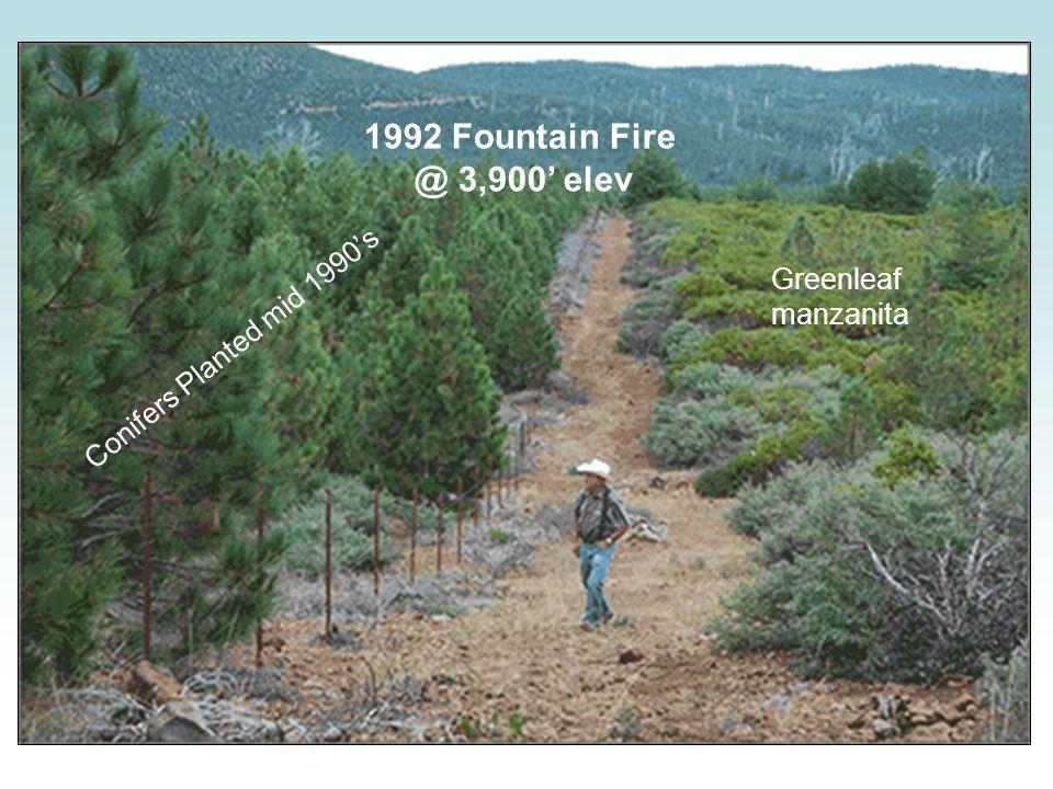 1992 Fountain Fire @ 3,900' elev Greenleaf manzanita Conifers Planted mid 1990's