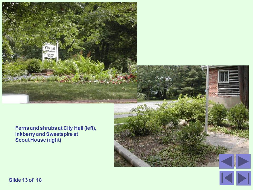 Ferns and shrubs at City Hall (left), Inkberry and Sweetspire at Scout House (right) Slide 13 of 18